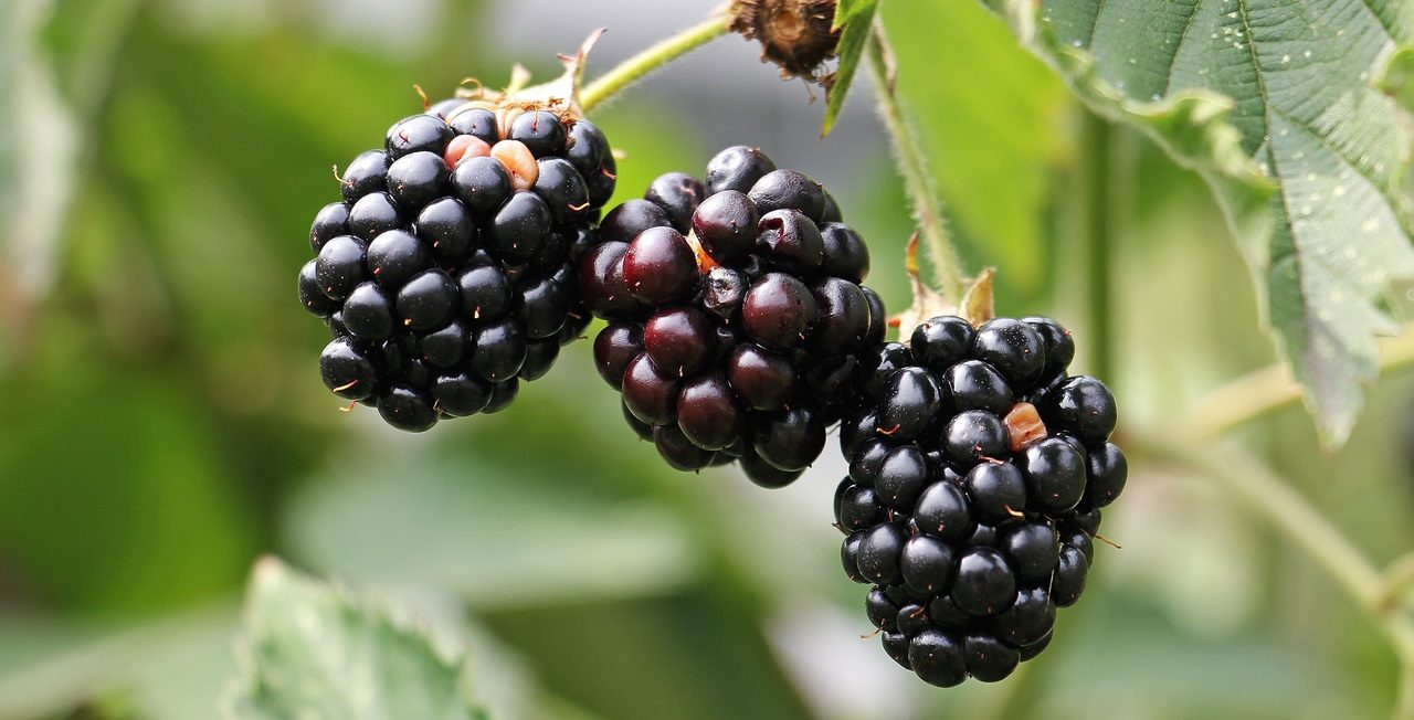 pen to print showcase write on poem poetry blackberry bush ann dineen roots